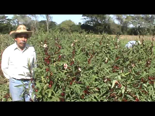 Cosecha De Flor De Jamaica Ing Agr Mario Pérez Ascencio Youtube