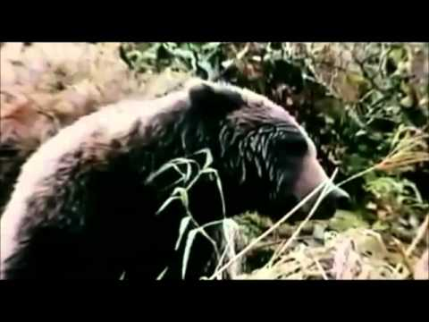 grizzly man film report Grizzly man is a 2005 american documentary film by german director werner herzog and featuring a musical score from richard thompson it chronicles the life.