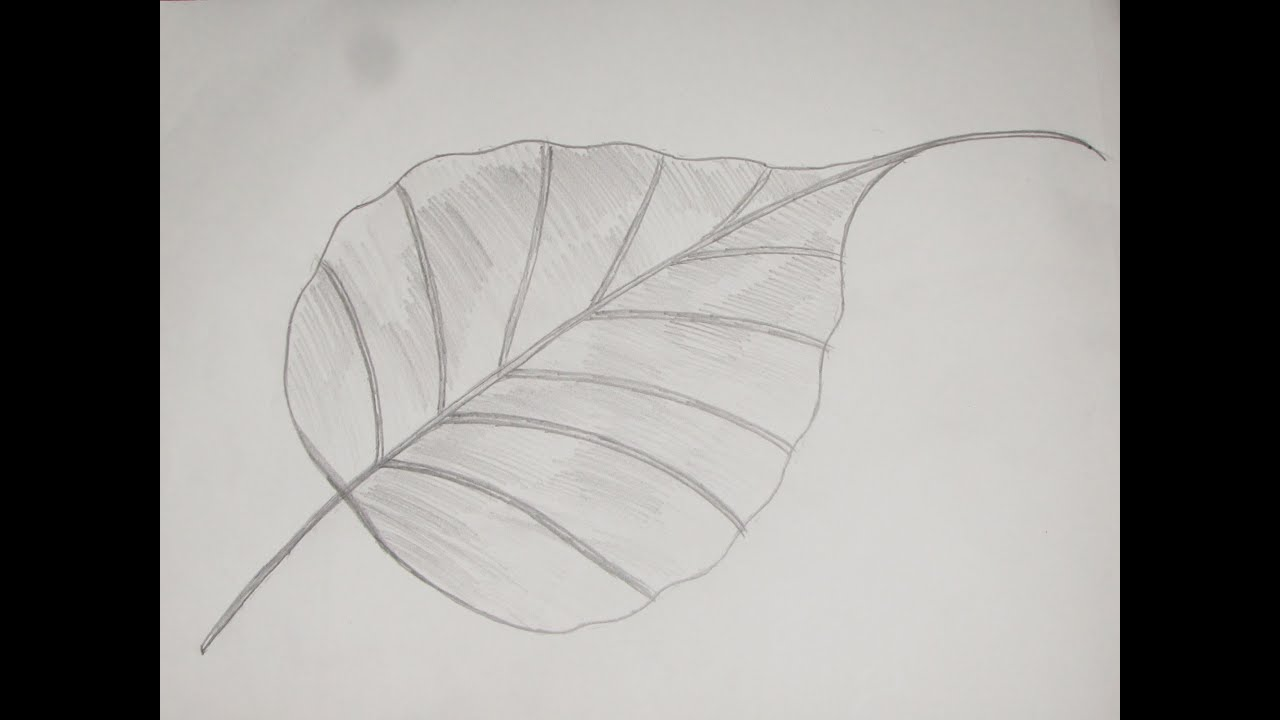 how to draw and sketch ficus religiosa peepal leaf 6 youtube