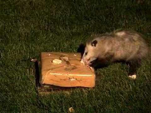 Beau Awesome U0027Possum 1! [Backyard Bag Feeder Project]   YouTube