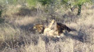 Two male lions attack and kill another male lion - Video #1
