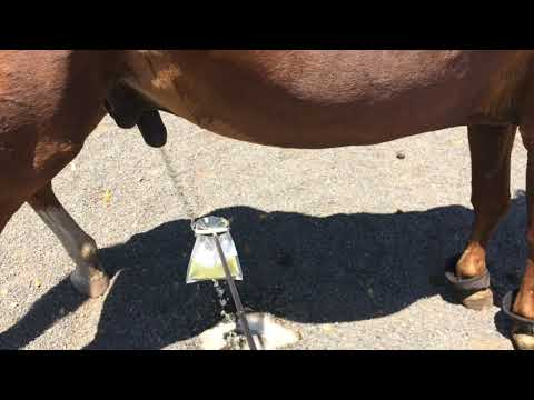 Horse Urine Sample Collection