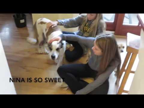 Nina - Wonderful Australian Cattledog mix needs home!