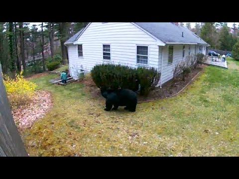 EYEWITNESS: Bear walks