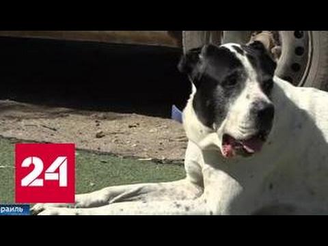 Бойцовые собаки: опыт Израиля