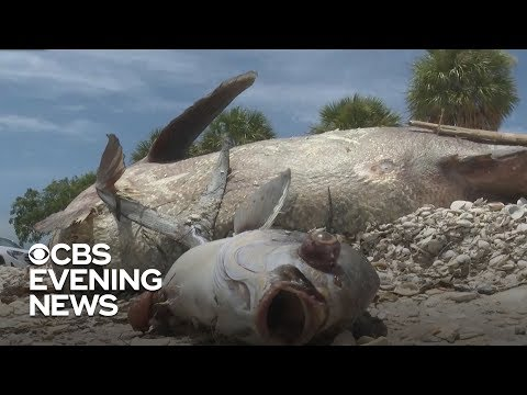 Deuce - Florida Red Tide Still Blooms, Destroying Stone Crab Harvest
