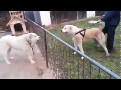 Kafkas Çoban Köpeği Kırması ve Alabailer