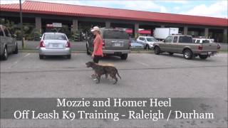 Mozzie (catahoula Mix) Before And After Video - Raleigh Durham Dog Training