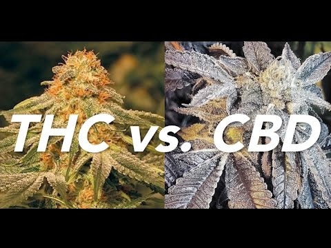 CBD vs THC by Cannabis Frontier | ASK A BUDTENDER