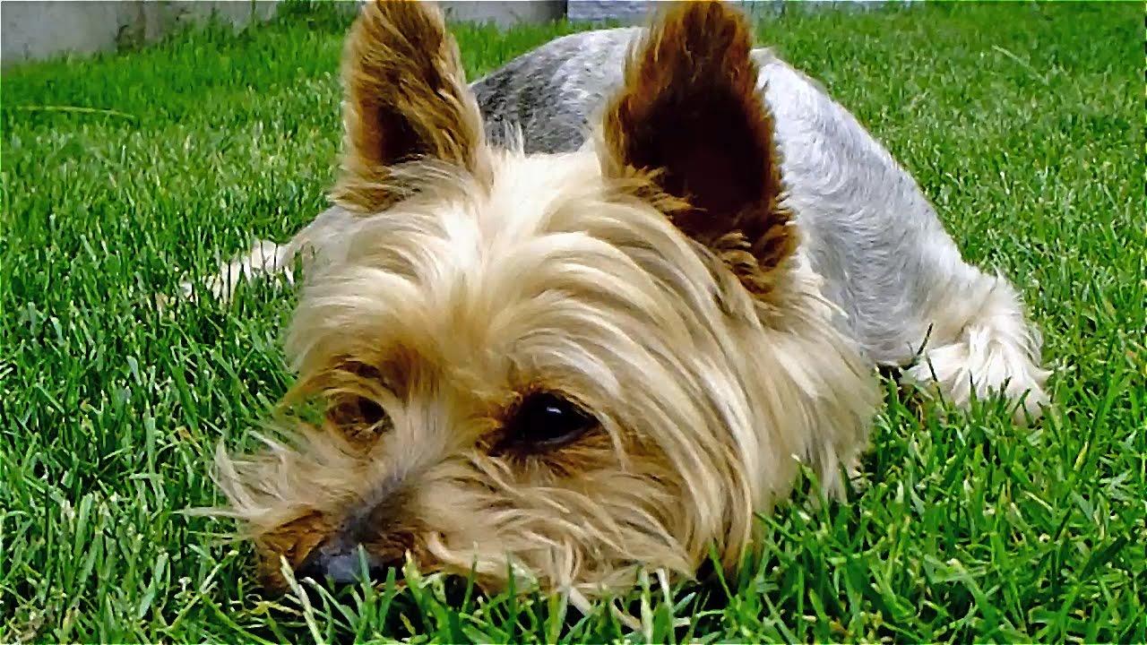 Yorkshire Terrier, chien joueur et affectueux - YouTube