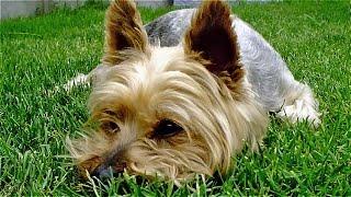 Le Yorkshire Terrier, Chien Joueur Et Affectueux