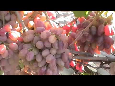 Продажа черенков и саженцев винограда в Михайловке