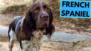 French Spaniel - TOP 10 Interesting Facts