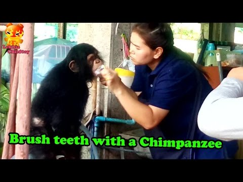 Brush teeth with a Chimpanzee @Samutprakarn Zoo