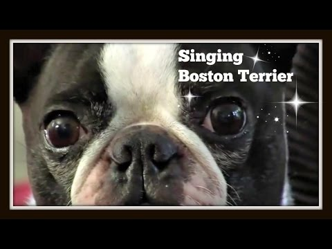 Cute funny singing Boston Terrier dog star Louie on Talent Hounds