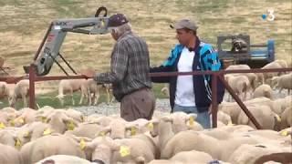 Attaques du loup en Lozère : retour anticipé à la bergerie