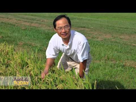 Scientists to help farmers grow organic rice