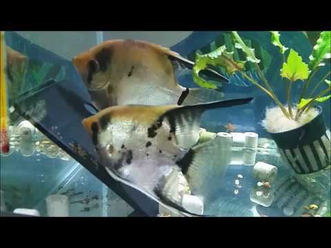 Angelfish Breeding - Getting A Proven Successful Angelfish Breeding Pair Which Takes Care Of The Fry