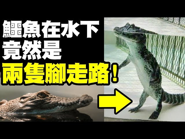 墨鏡哥|有點好笑...凶巴巴的鱷魚在水底竟然是這種姿勢!?《動物冷知識》|墨名奇妙# 69下集|冷知識