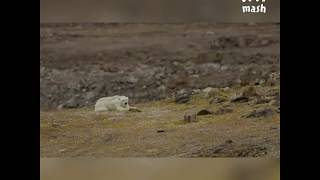 Белый медведь умерает .