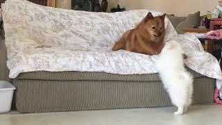 American Eskimo puppy challenged an older Finnish Spitz 4