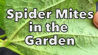 Organic Spider Mite Control in the Vegetable Garden