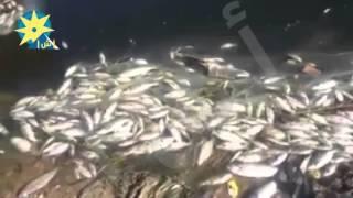 بالفيديو: نفوق كميات كبيرة من الاسماك بنهر النيل فى بالبحيرة