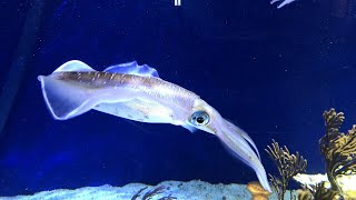 Some BIG bigfin reef squid!  | Live From Monterey Bay!