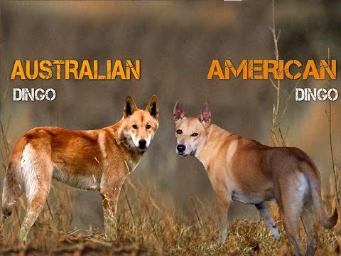 Australian Dingo Vs American Dingo