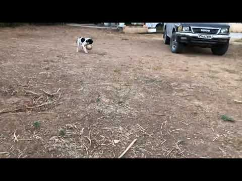 First training on retrieving for an English pointer