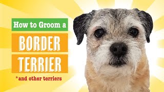How to Groom a Border Terrier (PET)