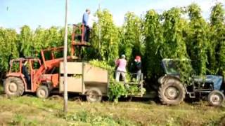 Hop picking in Kent 2011 (Extended version)