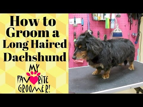 Grooming a Long Haired Dachshund