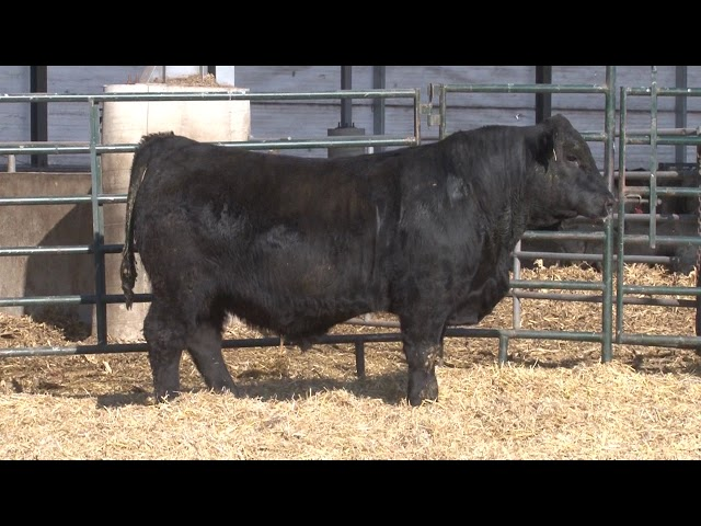 Schiefelbein Angus Farms Lot 98