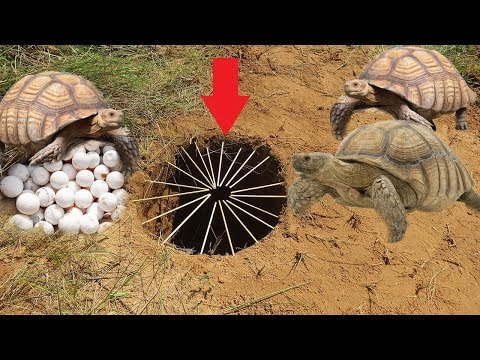 primitive technology:Easy Turtle Trap Using Turtle Nest and Bamboo