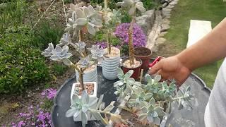다육식물 용월 외목대로 나무처럼 키우는 방법