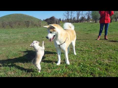 Best dog breed Akita inu meeting a cute Chihuahua (Japanese Akita, 秋田犬)