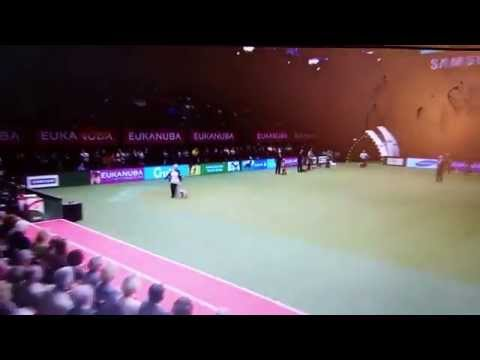 Crufts 2015, Cairn Terrier BOB Winner, Hjohoo's There's A Spirit For Hjo