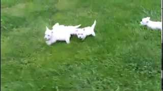 West Highland Terrior Puppies For Sale