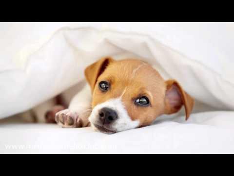 Música Relajante para Perros: Musicoterapia para Perro, Gato y Mascotas