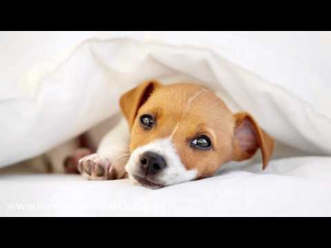Relaxing Music for Dogs: Music Therapy for Dogs, Cats and Pets