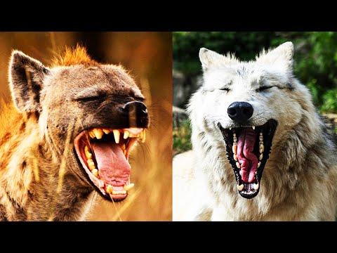Hiena vs Lobo | ¿Quién Ganaría? | EPIC VERSUS