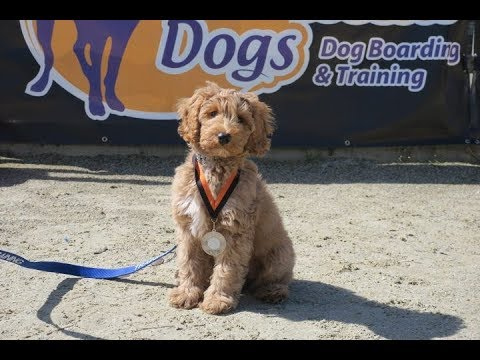 Ziggi - Australian Labradoodle Puppy - 2 Weeks Residential Dog Training