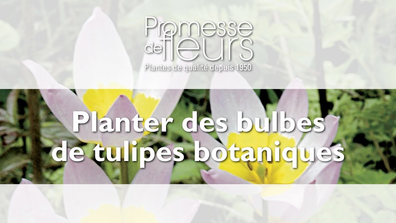 planter des bulbes de tulipes botaniques video pour le jardin youtube. Black Bedroom Furniture Sets. Home Design Ideas