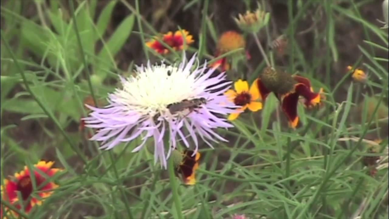 Clematis Resistenti Al Freddo clematide del texas, texensis della clematide: piantare