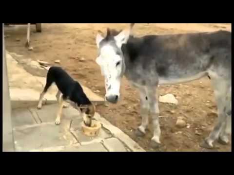 приколы эшак и верблюд