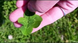 四つ葉のクローバー探し 四つ葉のクローバー 検索動画 18