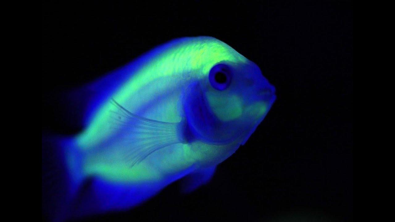 Glofish amazing glow in the dark fish youtube for Glow in dark fish