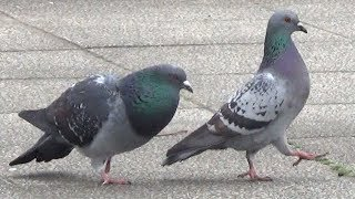 courtship behavior of a pigeon 春ですねえ。 オスのハト(鳩)が、首...