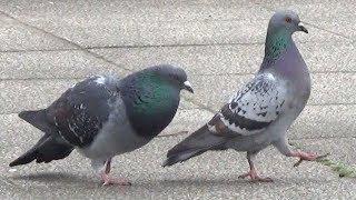 courtship behavior of a pigeon 春ですねえ。 オスのハトが、首をふく...